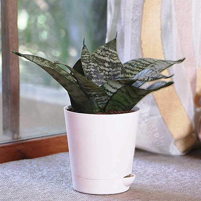 Sansevieria Green Air Purifier